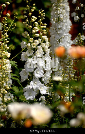White Delphiniums at the Alnwick Garden - Stock Photo