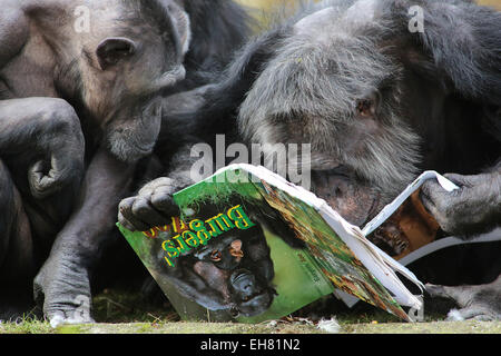 With their nose in the books, the chimpanzees of Burgers' Zoo in Arnhem, Netherlands started Friday 6-3-2015 their - Stock Photo