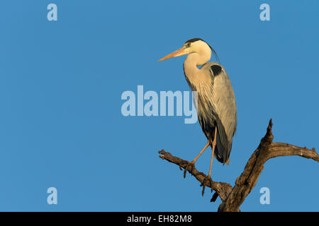 Grey heron (Ardea cinerea), Kruger National Park, South Africa, Africa - Stock Photo