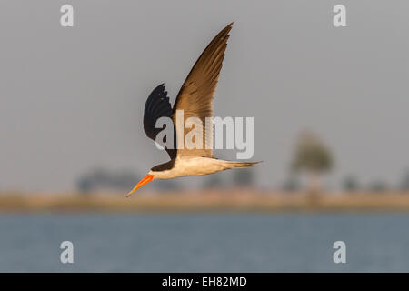 African skimmer (Rynchops flavirostris), in flight, Chobe National Park, Botswana, Africa - Stock Photo