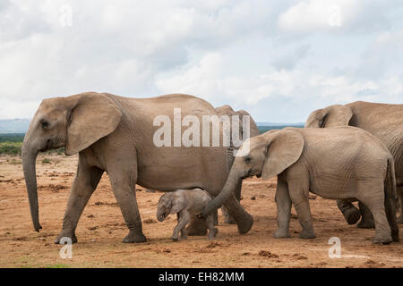 Elephants (Loxodonta africana), herd with newborn calf, Addo Elephant National Park, South Africa, Africa - Stock Photo