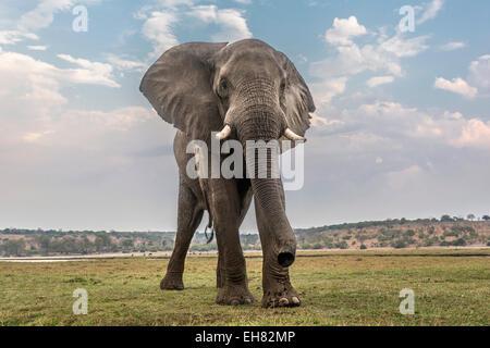 African elephant (Loxodonta africana), Chobe National Park, Botswana, Africa - Stock Photo