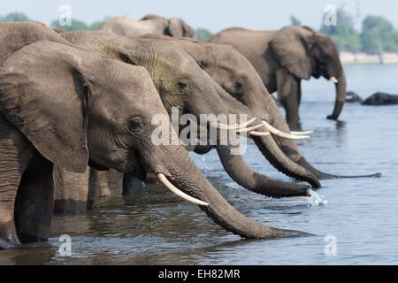 African elephants (Loxodonta africana) drinking, Chobe National Park, Botswana, Africa - Stock Photo