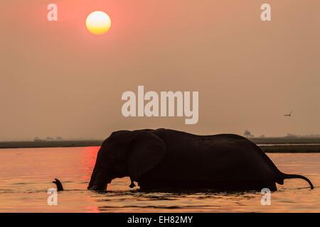 African elephant at sunset (Loxodonta africana), Chobe national park, Botswana, Africa - Stock Photo