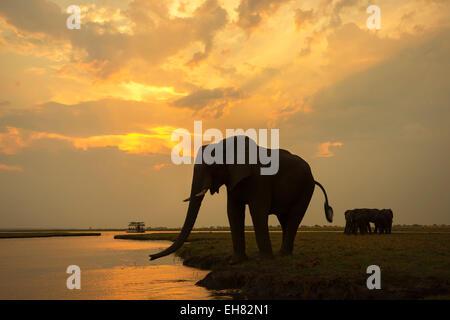 African elephant (Loxodonta africana) at dusk, Chobe National Park, Botswana, Africa - Stock Photo