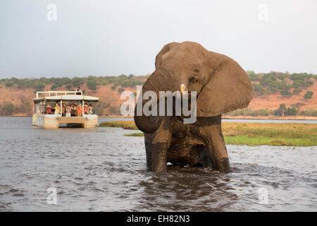African elephant (Loxodonta africana) and tourists, Chobe National Park, Botswana, Africa - Stock Photo