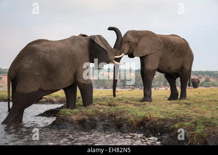 African elephants (Loxodonta africana), Chobe National Park, Botswana, Africa - Stock Photo
