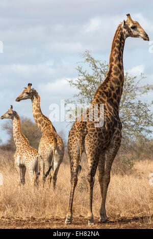 Giraffe (Giraffa camelopardalis), Kruger National Park, South Africa, Africa - Stock Photo