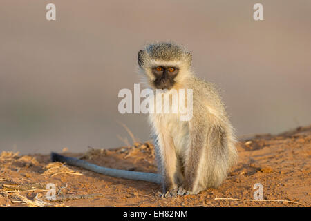 Vervet monkey (Cercopithecus aethiops), Kruger National Park, South Africa, Africa - Stock Photo
