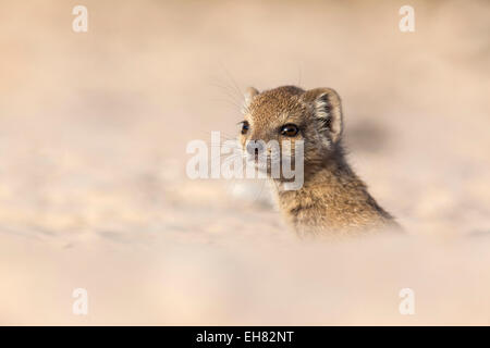 Yellow mongoose baby (Cynictis penicillata), Kgalagadi Transfrontier Park, Northern Cape, South Africa, Africa - Stock Photo