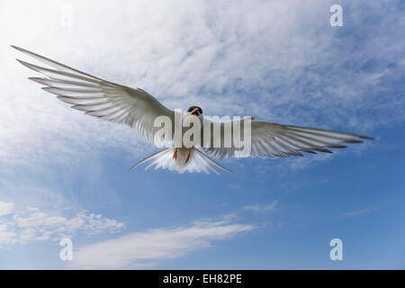 Arctic tern (Sterna paradisaea), in flight, Farne Islands, Northumberland, England, United Kingdom, Europe - Stock Photo