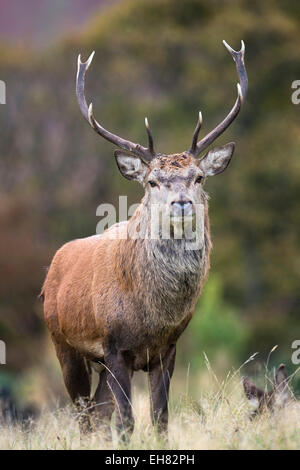 Red deer stag (Cervus elaphus), Arran, Scotland, United Kingdom, Europe - Stock Photo