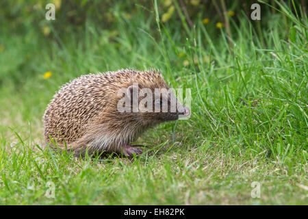 Hedgehog (Erinaceus europaeus), captive, United Kingdom, Europe - Stock Photo