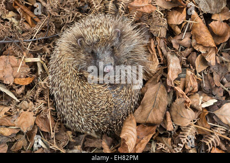 Hedgehog (Erinaceus europaeus) in autumn leaves, captive, United Kingdom, Europe - Stock Photo