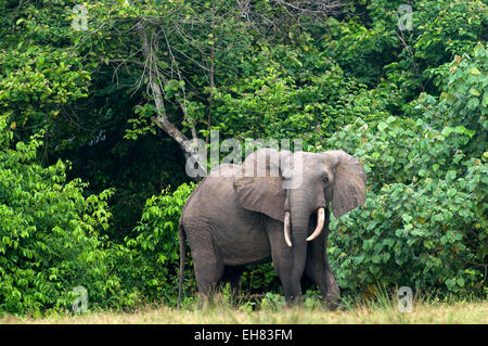 African forest elephant bull standing at the edge of the forest, Loango National Park, Ogooue-Maritime, Gabon, Africa - Stock Photo