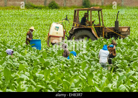 Workers and tractor in field of tobacco plants in an important growing region in the north west, Condega, Nicaragua - Stock Photo