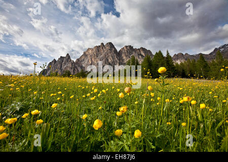 Globe-flowers (trollius europaeus) blooming at the foot of a massif in the Dolomites by Cortina D'Ampezzo, Veneto, - Stock Photo