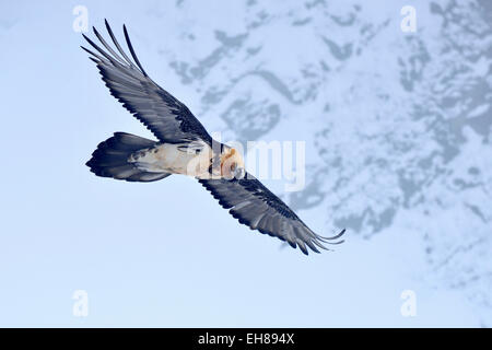 Bearded Vulture or Lammergeier (Gypaetus barbatus) in flight, Canton of Valais, Switzerland - Stock Photo