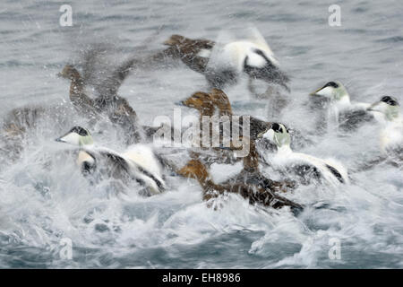 Group of Common Eider (Somateria mollissima) taking off from water, with slow shutter speed and motion blur,  Vadsö, - Stock Photo