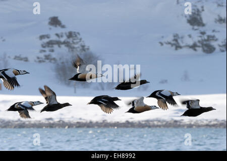 Group of Steller's Eider (Polysticta stelleri) flying with snow covered mountain in background, Vadsö, Varanger - Stock Photo