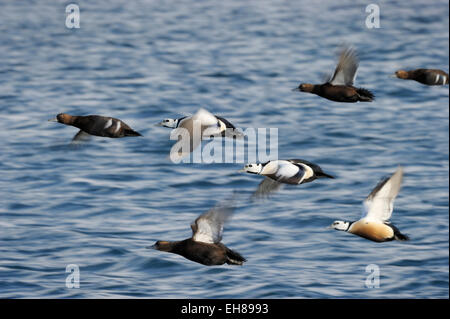 Group of Steller's Eider (Polysticta stelleri) flying with motion blur, Vadsö, Varanger peninsula, Norway. - Stock Photo
