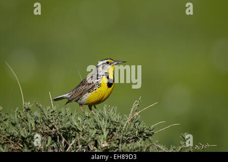 Western meadowlark (Sturnella neglecta), Pawnee National Grassland, Colorado, United States of America, North America - Stock Photo