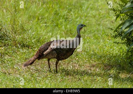 Eastern wild turkey in Tennessee USA - Stock Photo