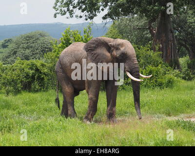 Mud spattered solitary bull African elephant (Loxodonta Africana) with mature tusks grazing peacefully  in Ruaha - Stock Photo