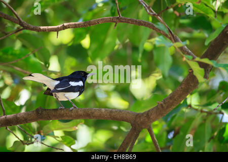 Oriental Magpie-Robin (Copsychus saularis) perched on branch. Nonthaburi Province. Thailand. - Stock Photo