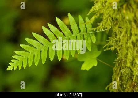 Licorice fern growing out of the side of a moss-covered Big-leaf Maple tree, in Olallie State Park near Twin Falls, - Stock Photo