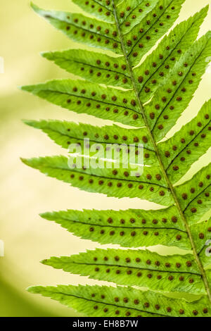 Spori on the underside of a Licorice Fern in Lake Wilderness Arboretum near Maple Valley, Washington, USA - Stock Photo