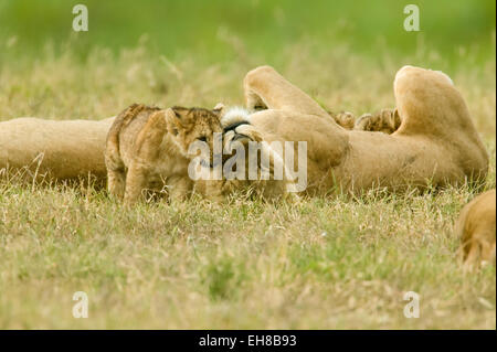 Lion mom and baby playing in Ngorongoro Crater, Tanzania, Africa - Stock Photo