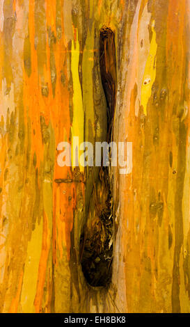 Close up of the colorful bark and tree trunk of the Rainbow Eucalyptus tree at Keahua Arboretum in Kauai, Hawaii, - Stock Photo