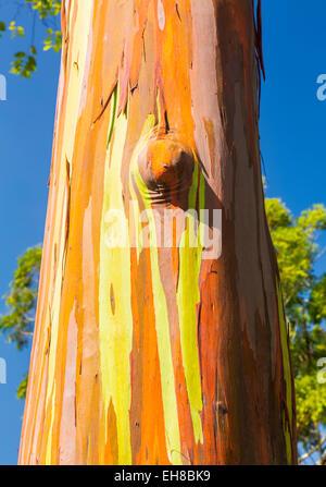 Bark and tree trunk of the Rainbow Eucalyptus tree (Eucalyptus deglupta) at Keahua Arboretum in Kauai, Hawaii, USA - Stock Photo