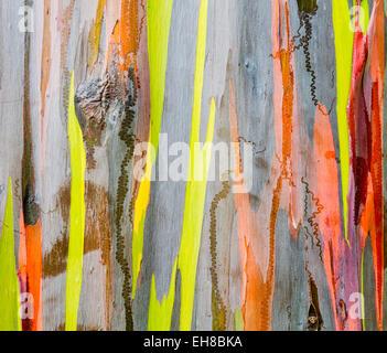 Wood texture - Colourful bark and tree trunk of the Rainbow Eucalyptus tree at Keahua Arboretum in Kauai, Hawaii, - Stock Photo
