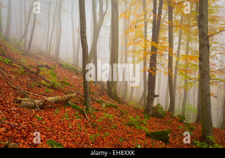 Primeval beech forest nature reserve on a foggy day, Slovakia. - Stock Photo
