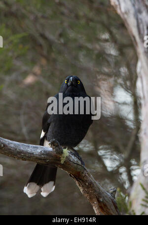 Pied Currawong (Strepera graculina) perched in a tree, Australia - Stock Photo