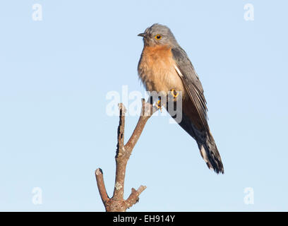 Fan-tailed Cuckoo (Cacomantis flabelliformis), Australia - Stock Photo