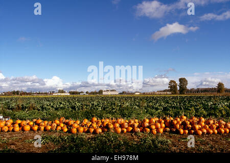 Fraser Valley, BC, British Columbia, Canada - Crop of Pumpkins in Pumpkin Patch Field (Cucurbita pepo), Harvest - Stock Photo