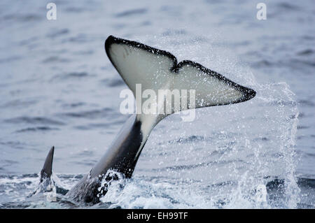Orca or Killerwhale (Orcinus orca) feeding on herring in the Tysfjord area (Norway). Male Orcas grow up to 7 m, - Stock Photo