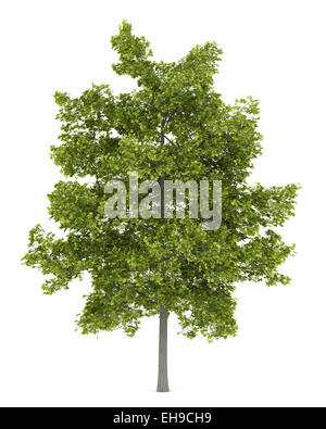 common lime tree isolated on white background - Stock Photo