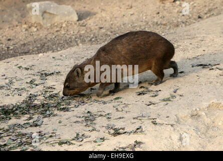 Juvenile South African Cape or rock hyrax (Procavia capensis), a.k.a. Rock badger or 'Dassie' doing a little exploring - Stock Photo