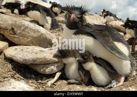 Die Felsenpinguine (Eudyptes chrysocome) kommen nach ihrem Beutezug in Gruppen aus dem Meer und machen sich auf - Stock Photo