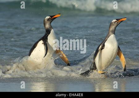 Eselspinguin (Pygoscelis papua) | Gentoo Penguin (Pygoscelis papua) - Stock Photo
