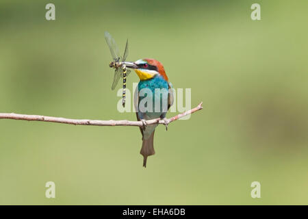 European Bee Eater (Merops apiaster) single adult perched on twig with dragonfly prey in its beak - Stock Photo