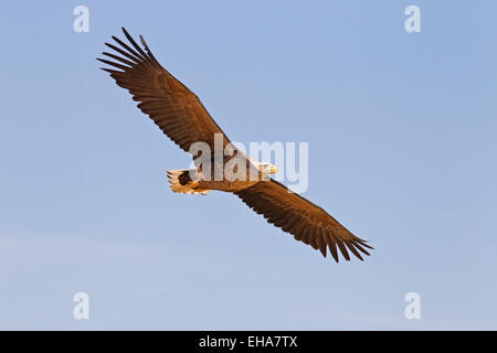 White-tailed Eagle (Haliaeetus albicilla), single adult in flight against blue sky - Stock Photo
