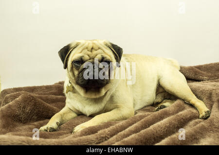A pug dog on a brown throw - Stock Photo