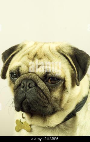 Pug Portrait - Stock Photo