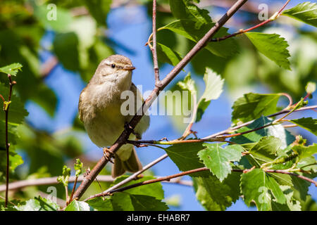 Willow warbler (Phylloscopu trochilus) - Stock Photo