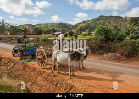 Farmers hauling their crop with ox cart in Myanmar - Stock Photo